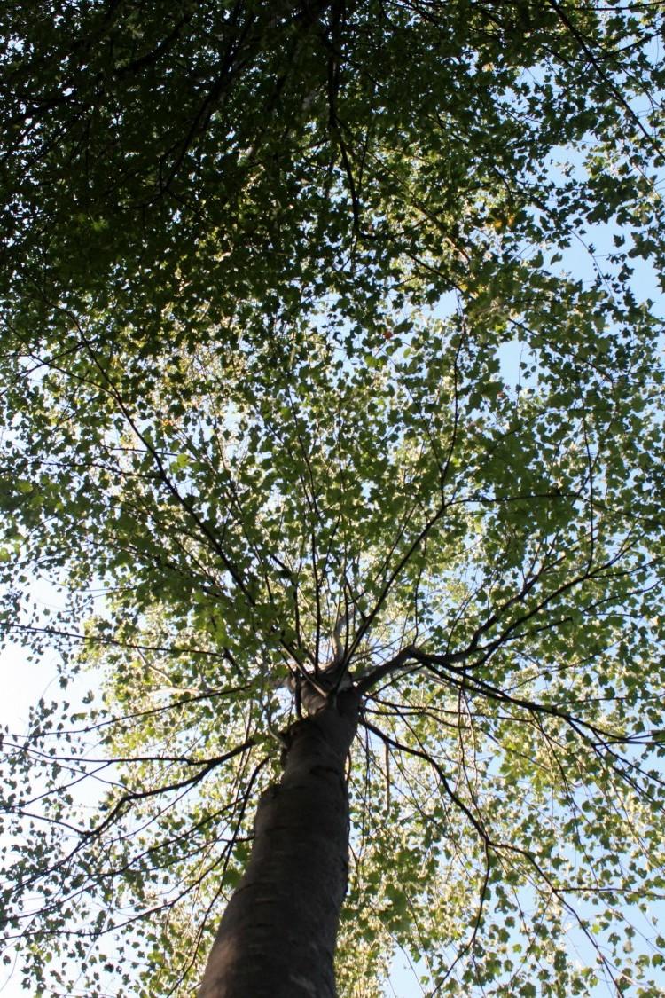 밑에서 올려다 본 거대한 나무의 모습