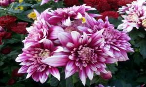 보라색과 하얀색이 섞여 있는 국화꽃
