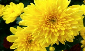 노란 국화꽃의 모습