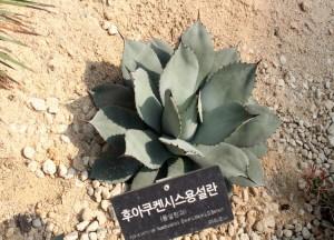 후아쿠켄시스용설란의 모습