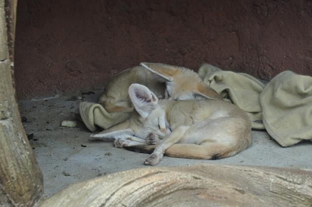 온 몸을 둥글게 말고 자고있는 사막여우들
