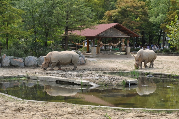 코뿔소 우리에 코뿔소들