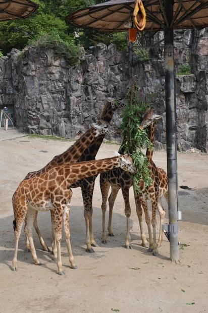 풀을 뜯고있는 기린들