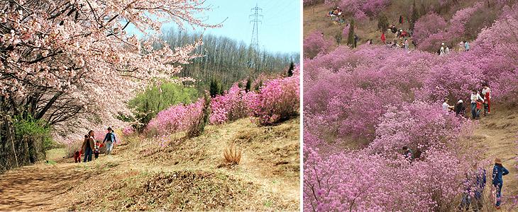 부천 원미산 진달래꽃 축제