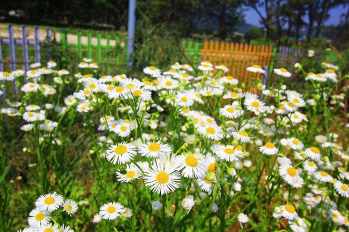 활짝 피어있는 하얀 꽃들