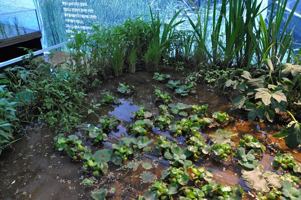 부레옥잠과 수생식물들