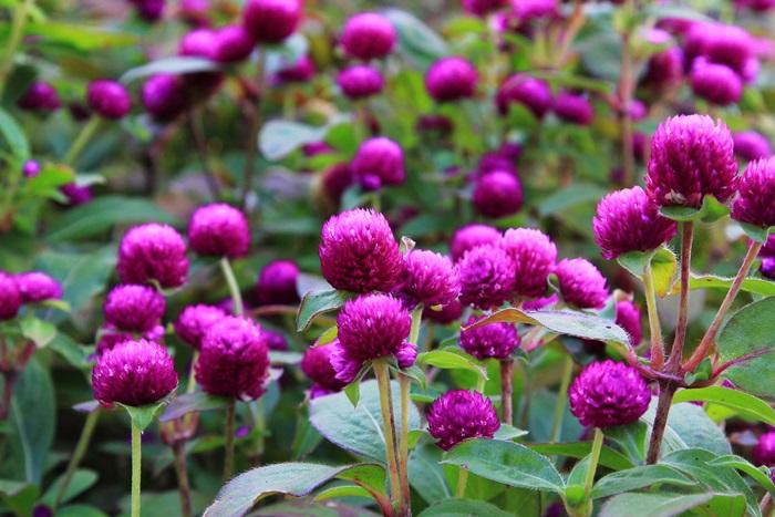 허브빌리지 보라색꽃