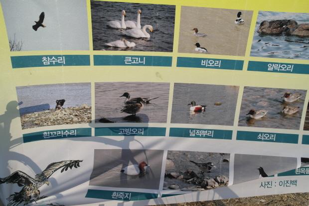 겨울철 한강에 머물다 가는 철새들 사진