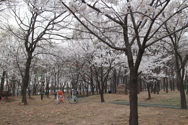 벚나무와 자전거