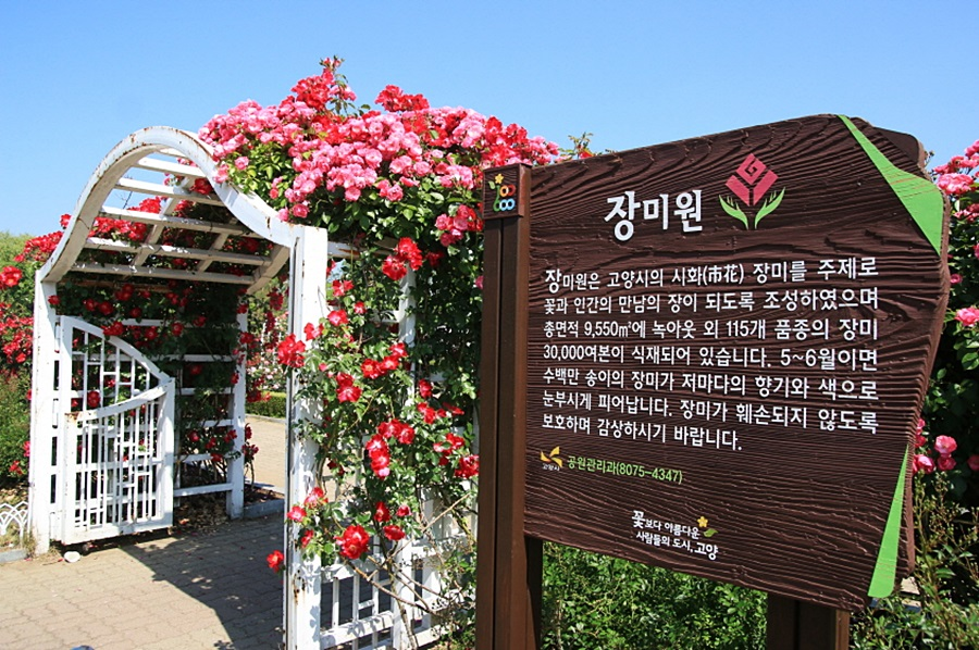 장미원 |장미원은 고양시의 시화 장미를 주제로 꽃과 인간의 만남의 장이 되도록 조성하였으며 총면적9,550㎡에 녹아웃 외 115개 품종의 장미 30,000여본이 식재되어 있습니다. 5~6월이면 수백만 송이의 장미가 저마다의 향기와 색으로 눈부시게 피어납니다. 장미가 훼손되지 않도록 보호하며 감상하시기 바랍니다. 공원관리과(8075-4347) 꽃보다 아름다운 사람들의 도시 고양