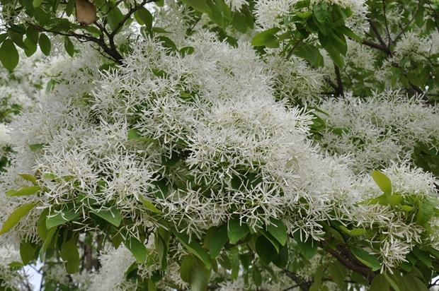 이팝나무꽃