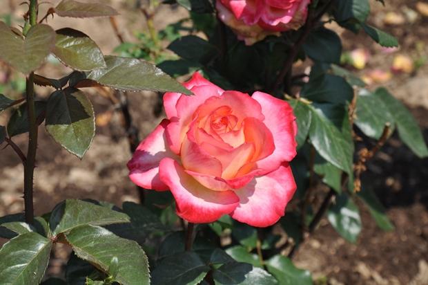 연분홍 장미