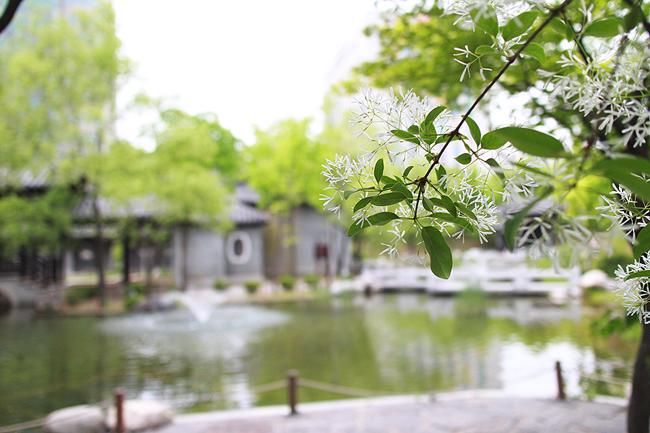 연못과 이팝나무 꽃