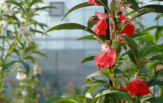 봉숭아 꽃