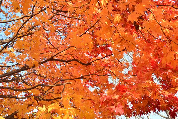 일신분교 단풍나무