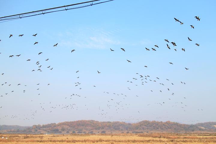 민통선 지역을 찾아온 철새