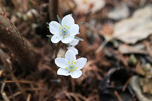 경기도 봄꽃여행 – 경기도립공원 수리산의 변산바람꽃