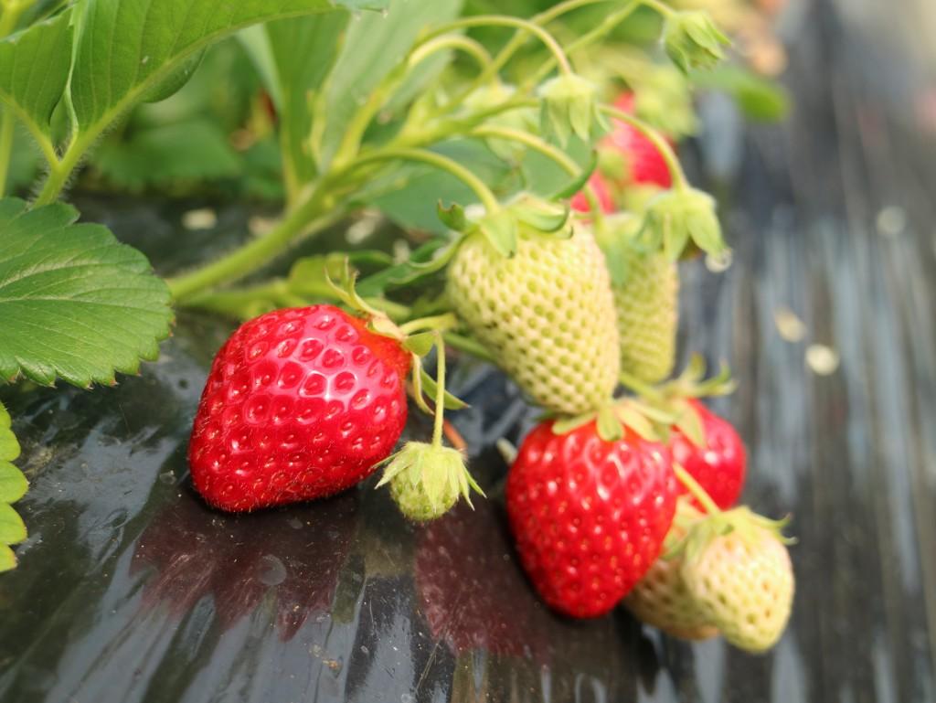 익어가는 딸기들