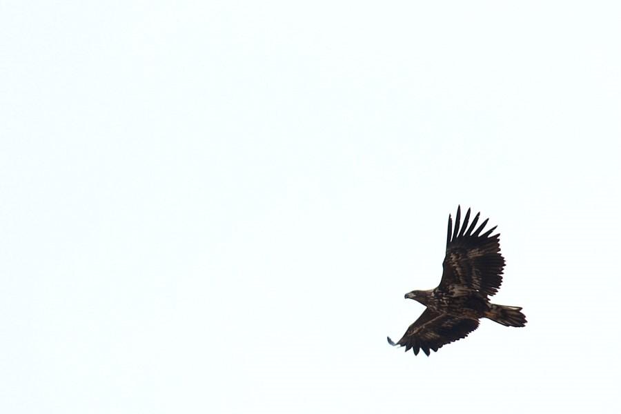 파주 장단반도 독수리 월동지에서 만난 독수리