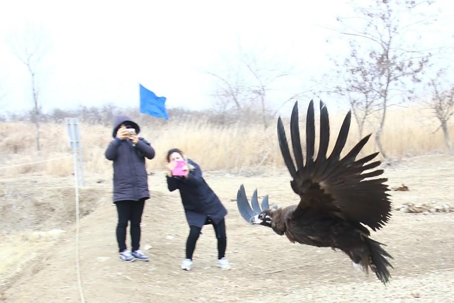 파주 장단반도 독수리 월동지에 방생하는 독수리