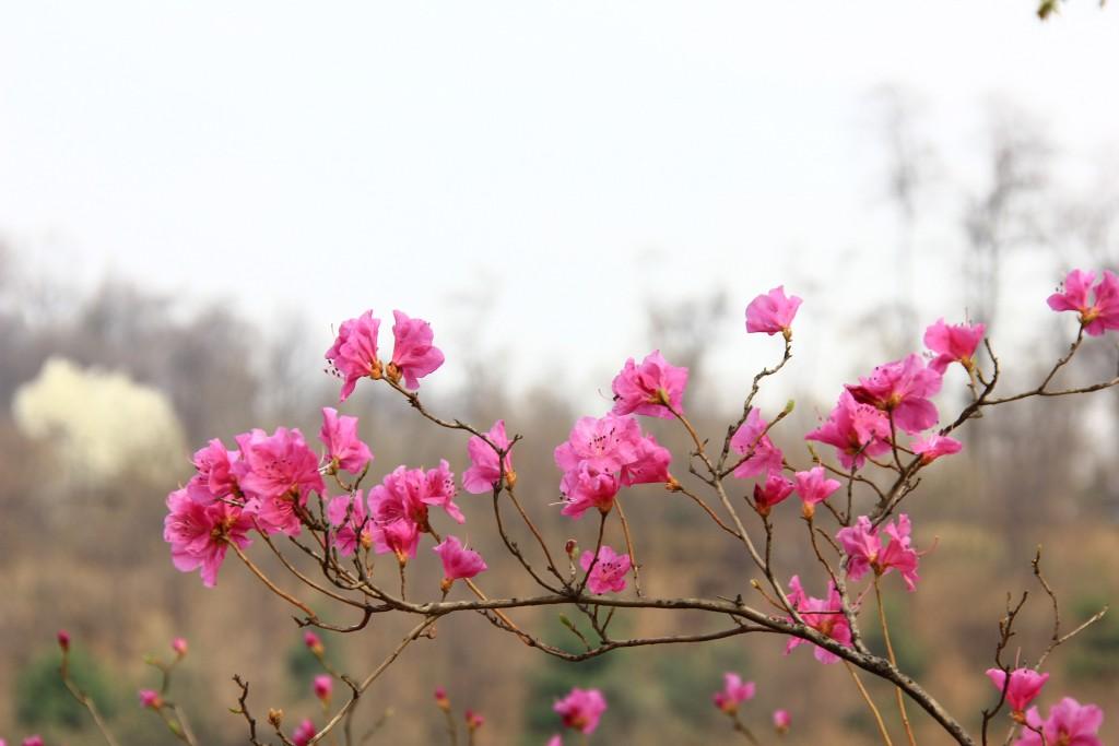 부천원미산진달래축제 , 강남역치맥 042