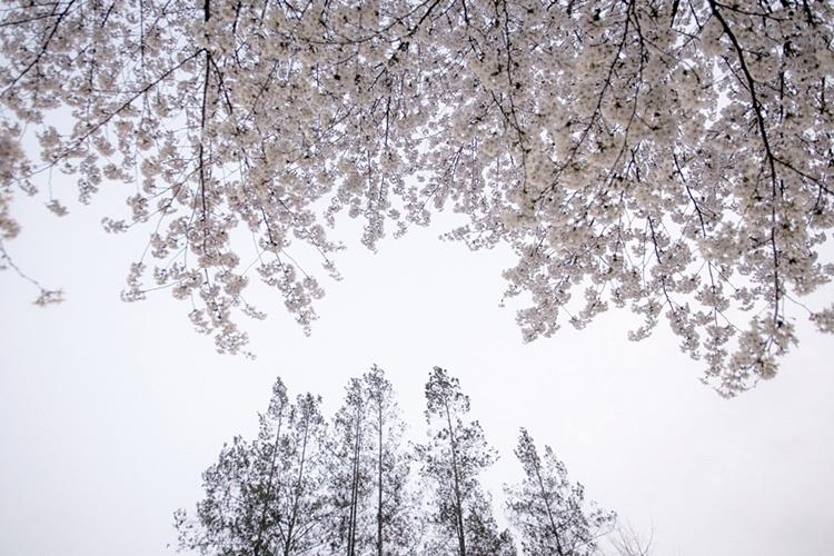 설봉공원벚꽃나들이002