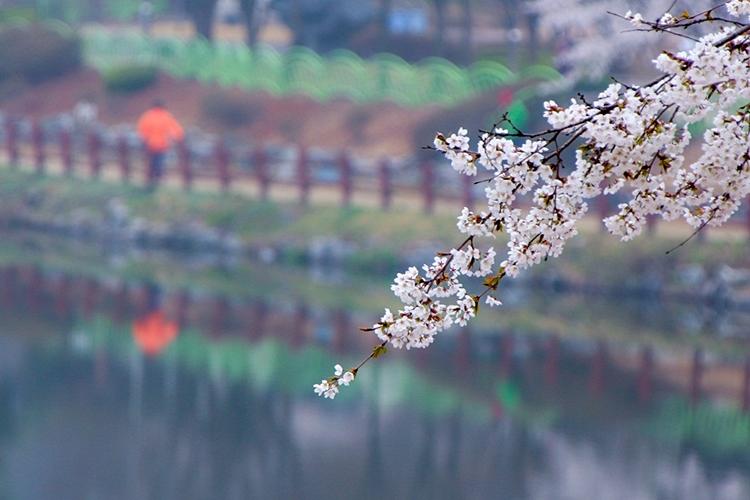 설봉공원벚꽃나들이020