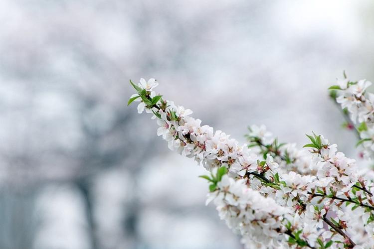 안흥지벚꽃나들이004