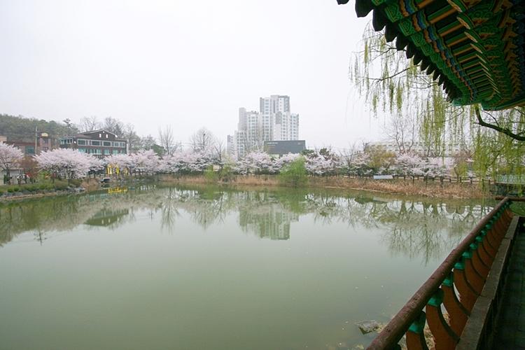 안흥지벚꽃나들이013