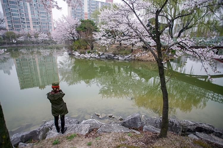 안흥지벚꽃나들이017