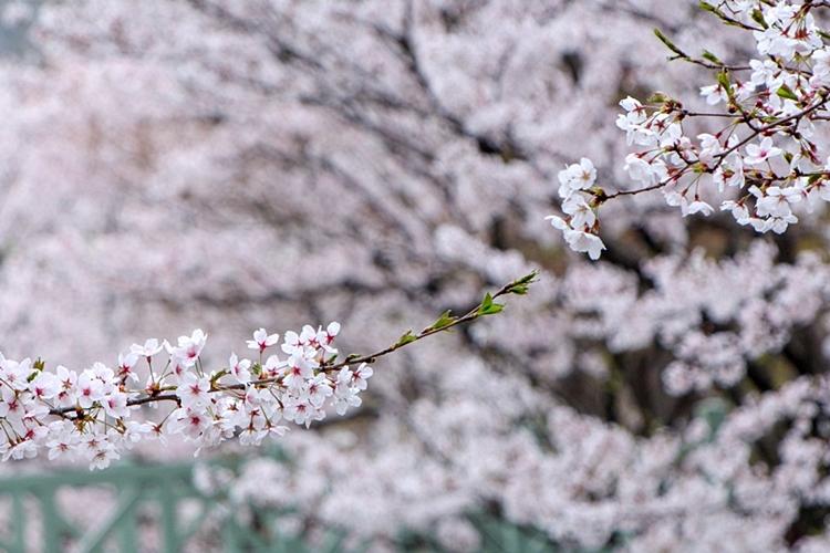 안흥지벚꽃나들이018
