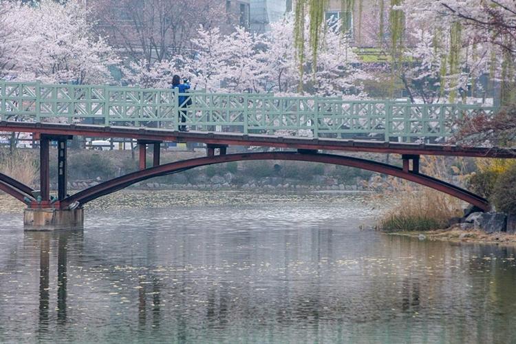 안흥지벚꽃나들이020