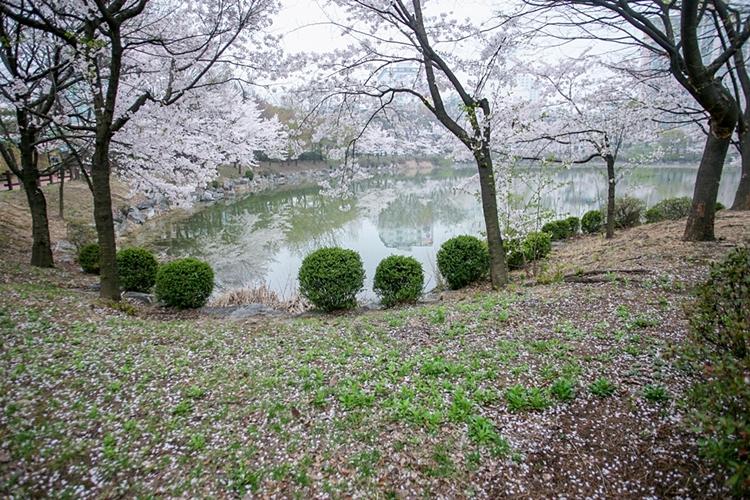 안흥지벚꽃나들이022