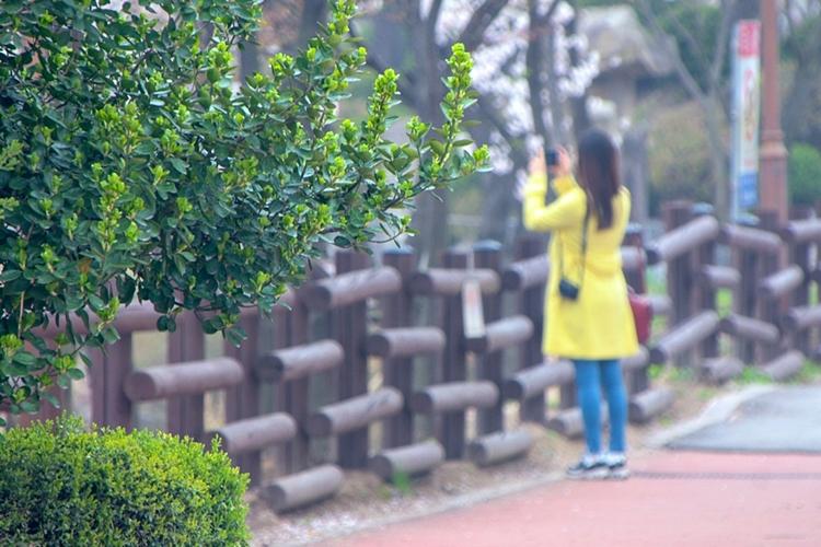 안흥지벚꽃나들이024