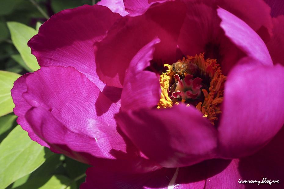 만개한 모란꽃