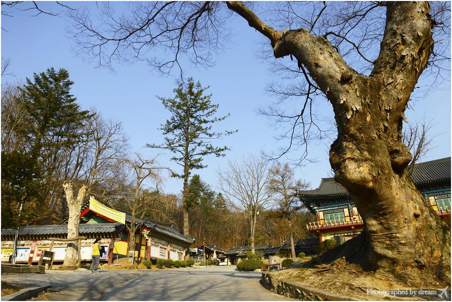 봉선사 느티나무