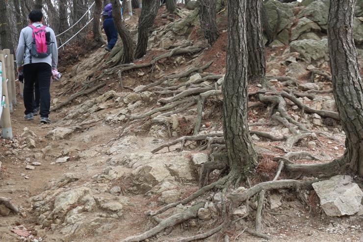 등산로에 보이는 거대한 나무뿌리