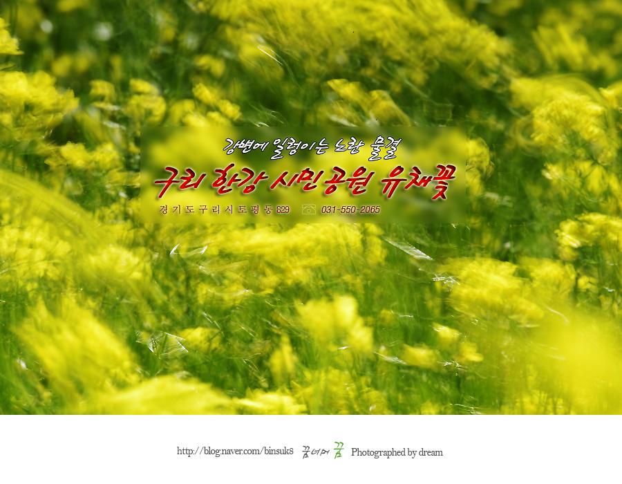 구리시민공원유채꽃
