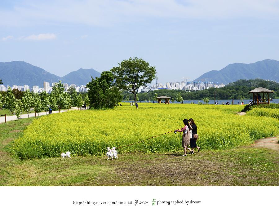 유채꽃 밭을 산책하는 사람들