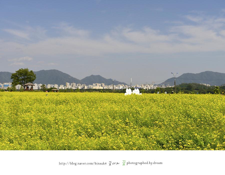 꽃이 만발한 유채꽃 밭
