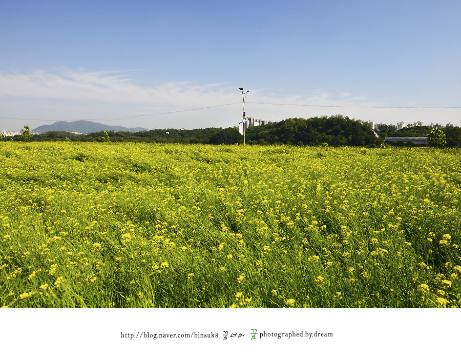 유채꽃 밭