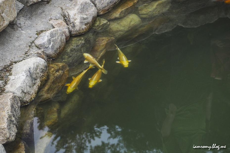 연못의 잉어들