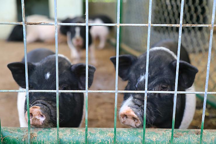 새끼 돼지들