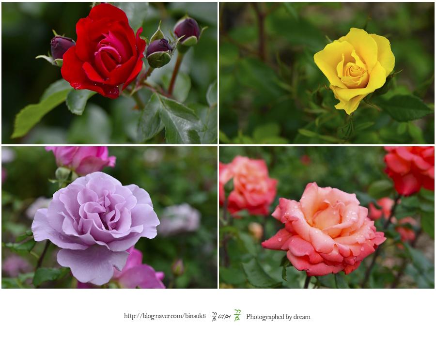 다양한 색깔의 장미들