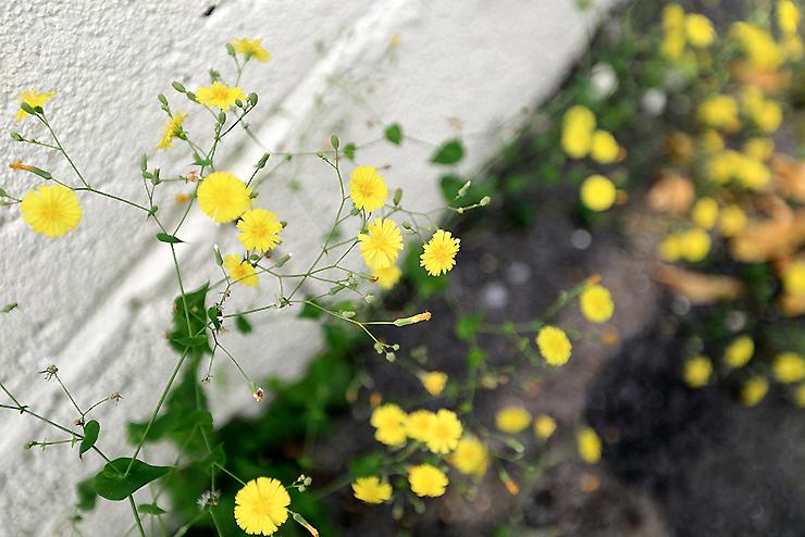 담벼락에 피어난 노란 꽃