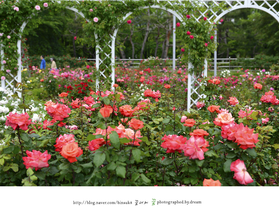 화단에 가득 핀 분홍 장미들