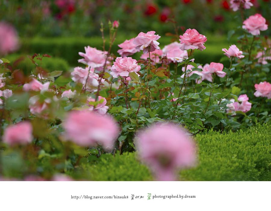 가득 핀 연분홍 장미들
