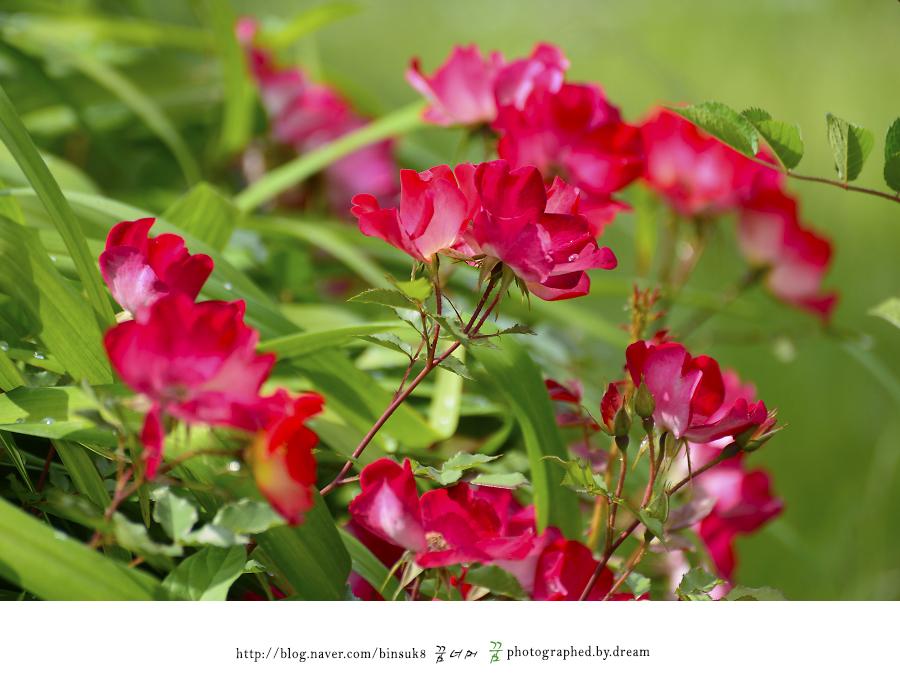 다양한 모양의 장미