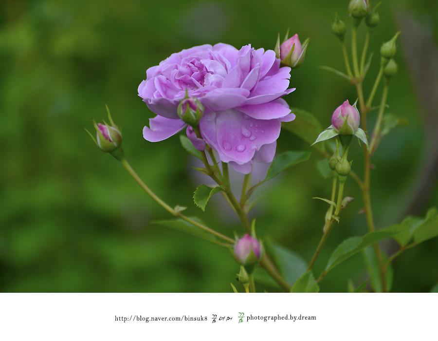보라색 장미