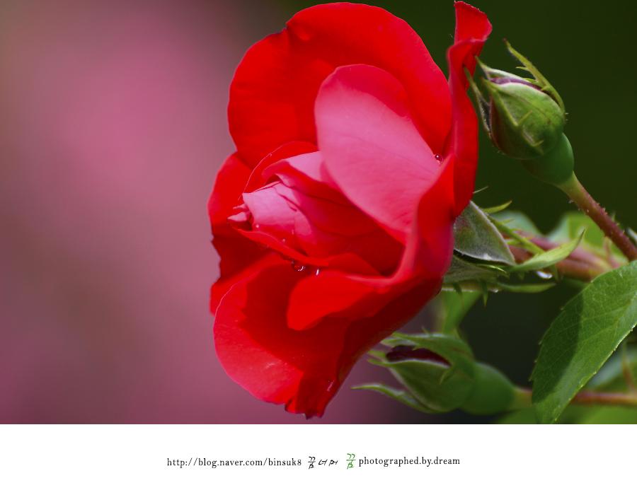붉게 핀 장미